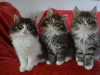 10-semaines-chatons-4
