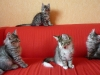 chatons-11-semaines-1