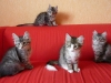 chatons-11-semaines-11