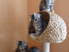 chatons-11-semaines-5